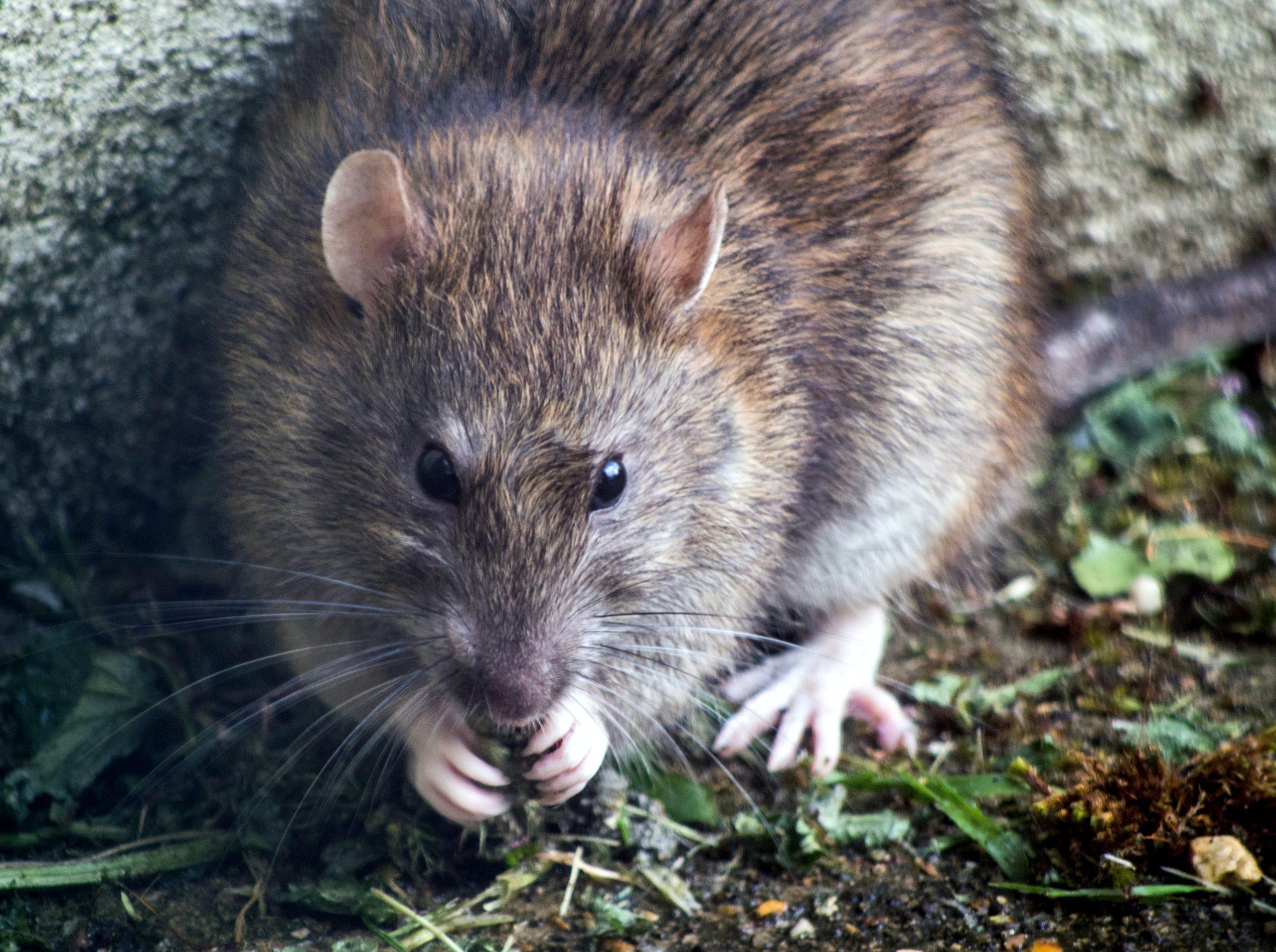 No more Mr Mice Guy: how one driver beat the rodents eating his car